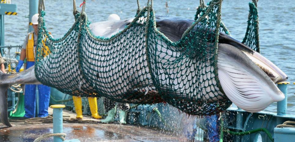 """Baleine de Mink pêchée par un navire japonais """"pour la recherche scientifique"""" en 2015. ©/NEWSCOM/SIPA"""