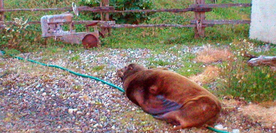 L'otarie de Californie a été retrouvée au beau milieu d'un ranch. © Lance Martin/AP/SIPA.