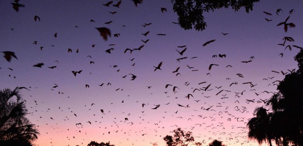 Un essaim de milliers de Renards volants, Pteropus poliocephalus, en 2014 à Townsville, dans le nord-est de l'Australie. © Scott Radford-Chisholm//REX/SIPA