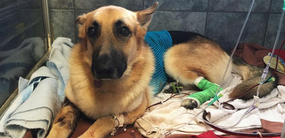 Il est parfois compliqué pour les vétérinaires de différencier les blessures accidentelles de la maltraitance. © Tamara Lush/AP/SIPA