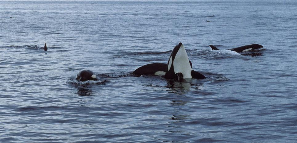 Chaque population d'orques a ses préférences et ses modes de chasse, transmis de génération en génération. © SUPERSTOCK/SUPERSTOCK/SIPA