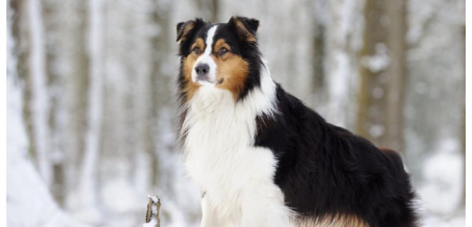 La mutation du gène MDR touche les chiens de type Colley comme ce Berger australien. ©ARDEA/MARY EVANS/SIPA