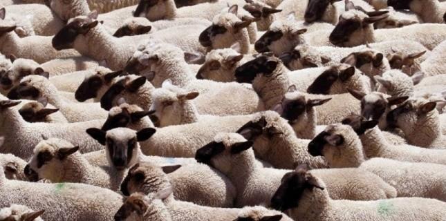 Les agneaux sont les principales victimes du virus de Schmallenberg, qui s'exprime en France depuis le mois de janvier. Don Ryan/AP/SIPA