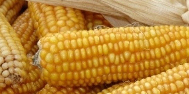 Des épis de maïs OGM Monsanto (F. DURAND/SIPA)