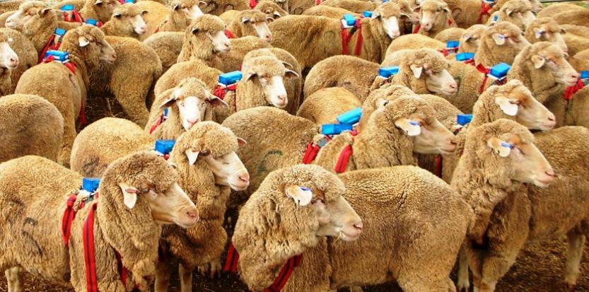 Des moutons équipés de sac à dos GPS. Jennifer Morton