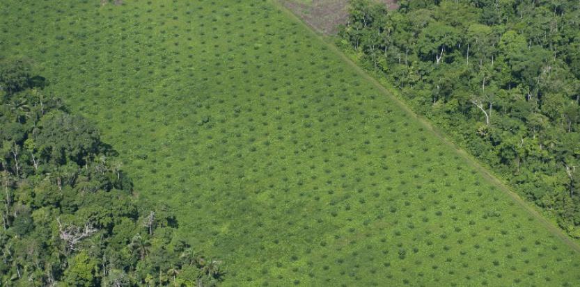 Plantation de palme dans la forêt amazonienne AFP