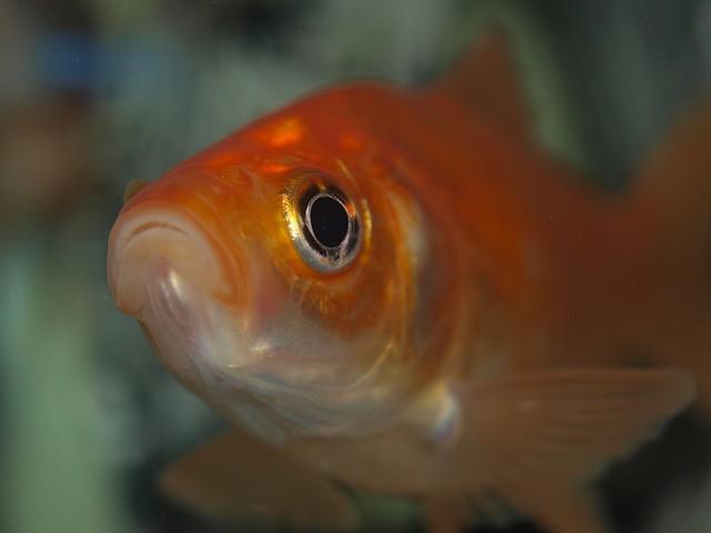 Un poisson rouge pas heureux