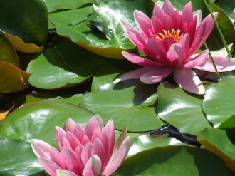 Water Lilies in PEI