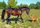 Cukiság! Amikor az aprócska kutyakölyök sétáltatja meg barátját, a lovat