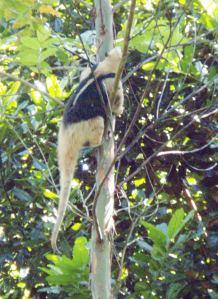 The Lesser Anteater