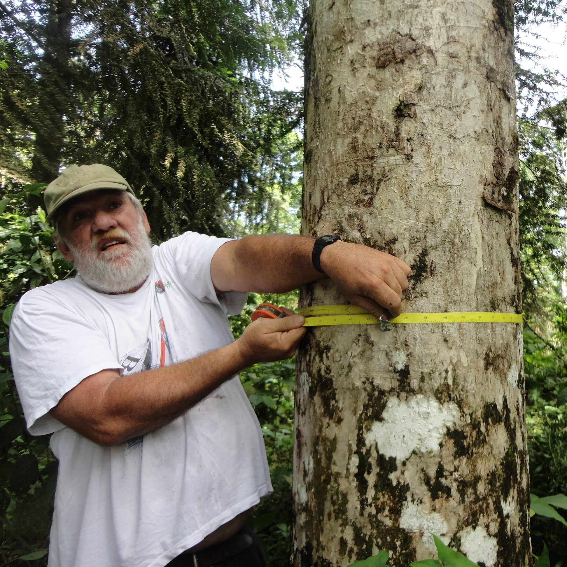 Forester Rolando measures the tree's diameter - square