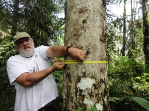 Forester Rolando measures the tree's diameter