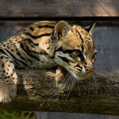 Ocelot_Santago_Leopard_Project_2
