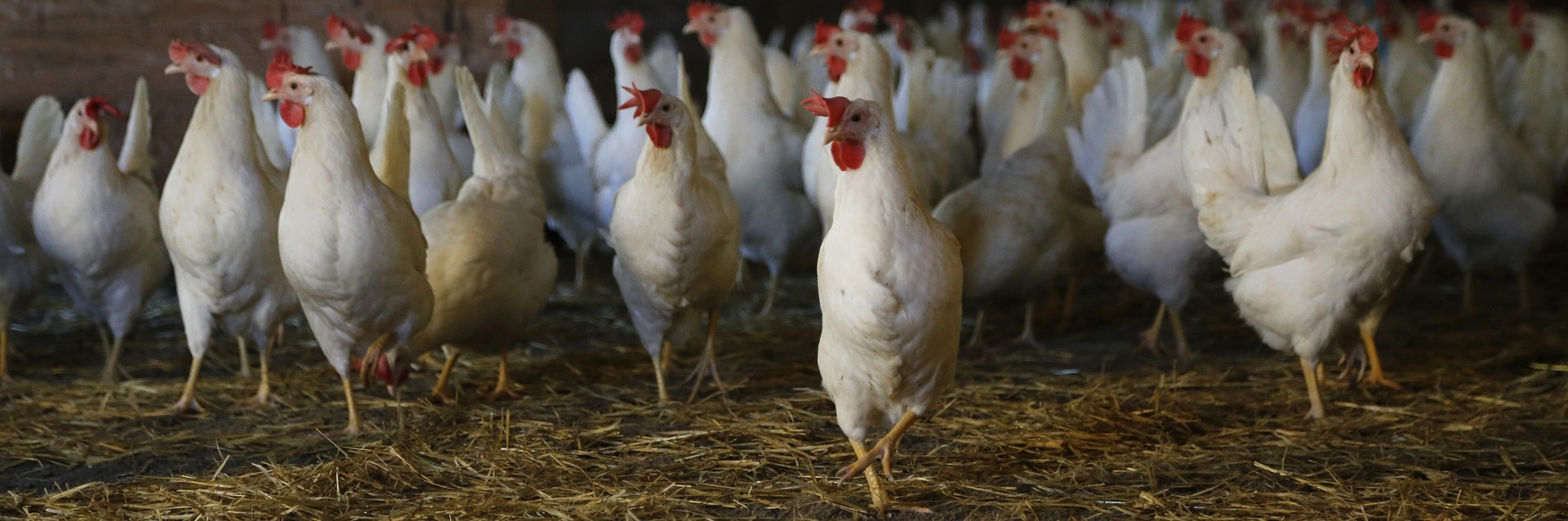 The Chicken You Should Never Ever Eat and How it is Labelled