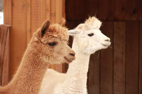 Alpaca Farm Animals