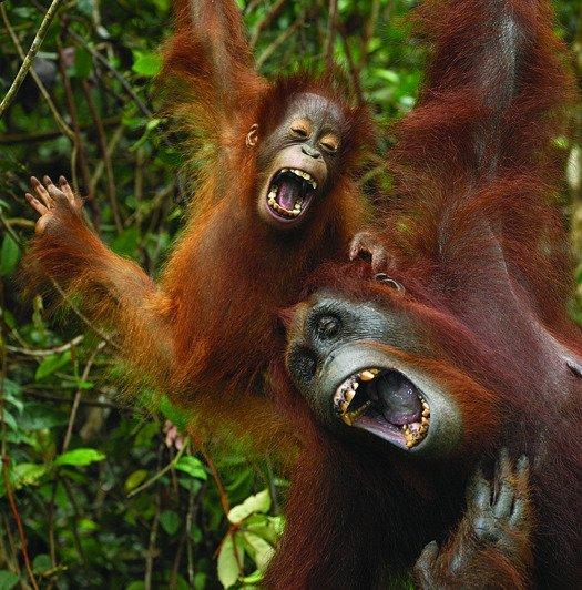 simios-cosquillas