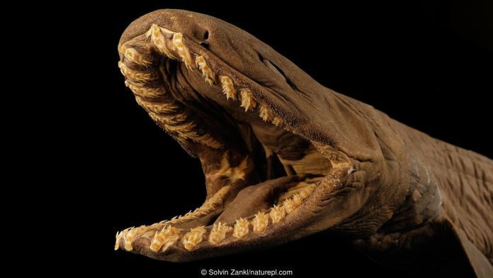 El tiburón anguila es un tiburón que vive en las profundidades del océano.