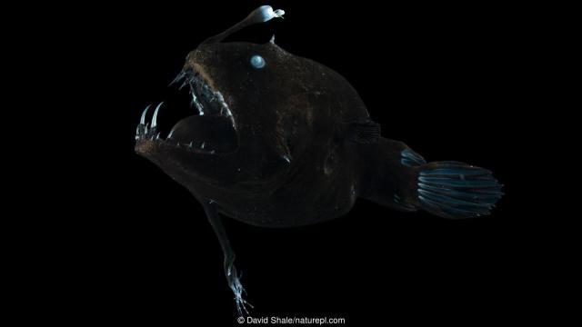 Este lophiiforme no identificado es un pez  que usa un señuelo para atraer a sus presas