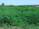 Prosopsis juliflora covering grazing land in Ethiopia. Credit: Arne Witt.