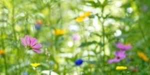 Fleurs des champs au printemps