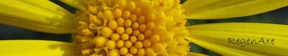 clanwilliam-daisy-header.jpg