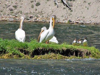 3 White Pelicans and 3 Mergansers on an islwnd in the Yellowstone River