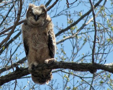 Great Horn Owlet