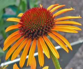Front Yard Cone Flower