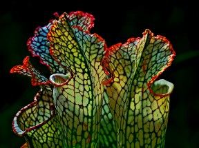 White Trumpet Pitcher Plant