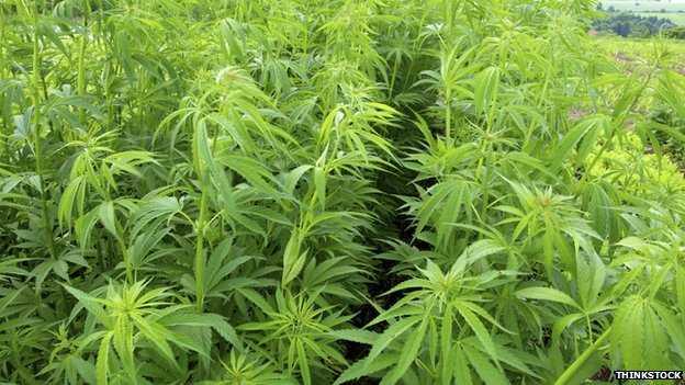 Cannabis: ¿Podría remplazar al «material milagroso»?