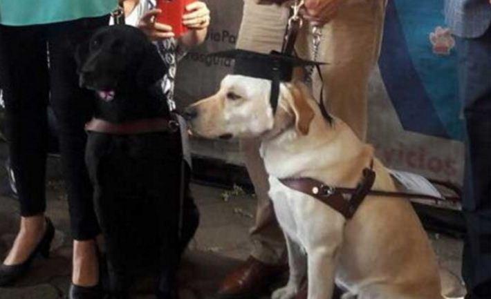 Se titulan 6 perros para ser guías de personas con ceguera