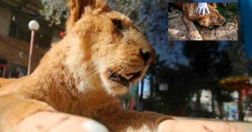 Zoológico mutila a leona para obligarla a convivir con visitantes - Zoológico mutila a leona para obligarla a convivir con visitantes