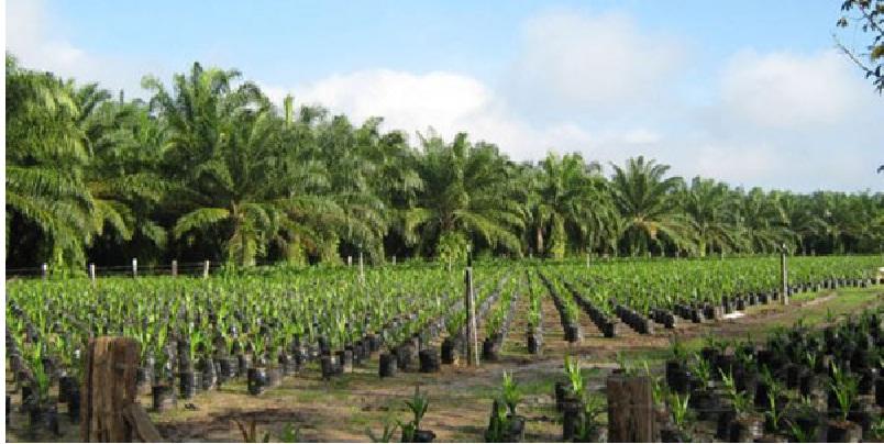 palma aceite - Sader impulsa cultivo sustentable de palma de aceite