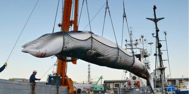 0702 BALLENA2 - Cazar ballenas, es casi un orgullo nacional en Japón