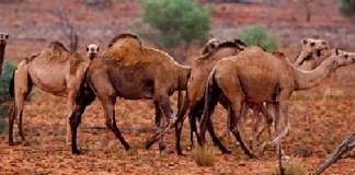 Australia, contra sacrificio de camellos