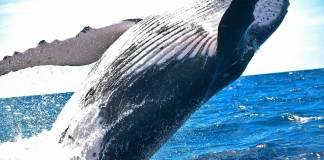 Descubren nueva especie de ballena que vive en el Golfo de México
