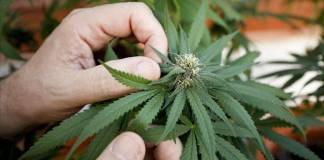 Diputados aprueban la legalización de la marihuana