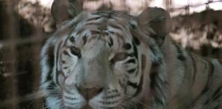 Hallan tigre de bengala durante cateo en inmueble de Campeche