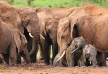 Cazador furtivo muere aplastado por estampida de elefantes