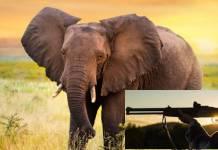 Elefante mata a pisotones a presunto cazador furtivo en Sudáfrica
