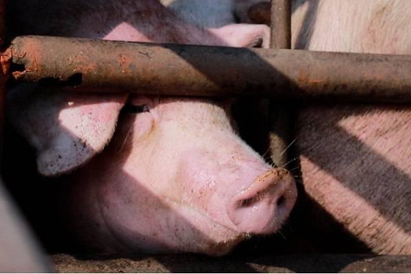 Cerdos maltratados en rastros de México