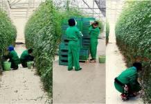 Jitomate producido mediante prácticas de trabajo forzado