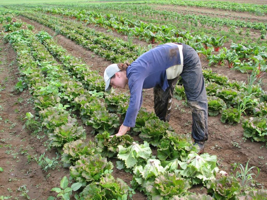 Farmer in field picking food