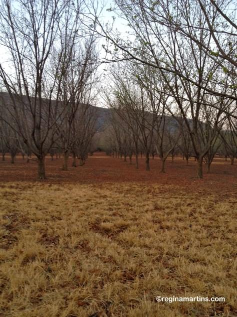 Pecan nut grove