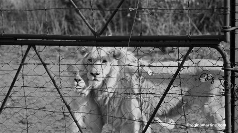 Apollo and Shakira, two young lions