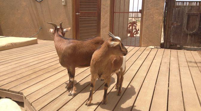 goats, namibia