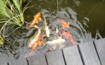 Beautiful gold fish in a pond at Sam's Giardino guesthouse in Swakopmund.