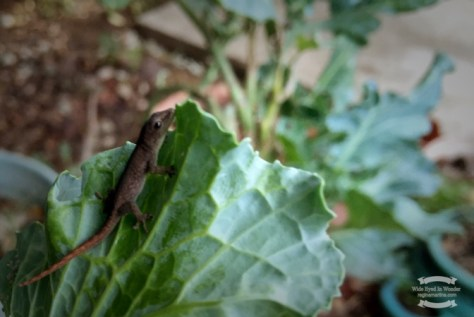 A rescued baby lizard on the kale plant ©2016 Regina Martins