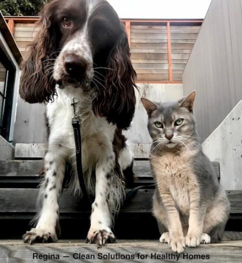 Springer Spaniel dog with big cat.