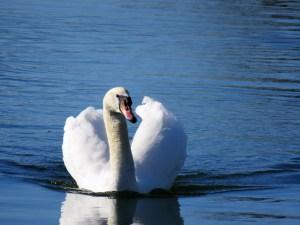 beautiful swan poem
